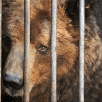 Royal Canin accused of sponsoring brutal & illegal bear-baiting contests