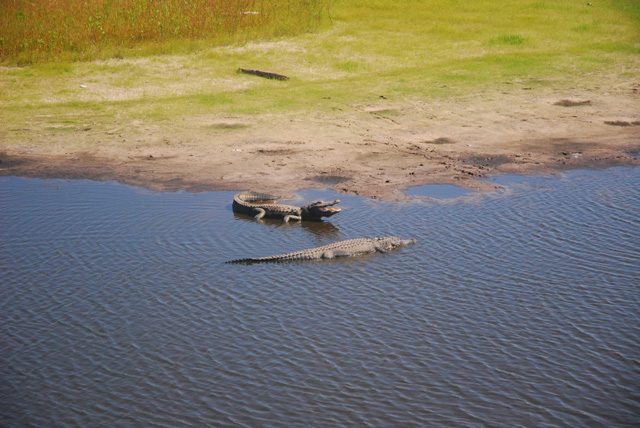 Alligators at Myakka River State Park, Florida