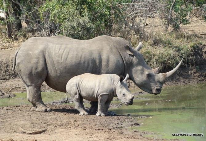 rhino[1]