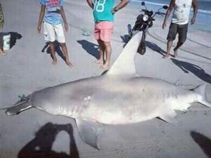 tubarão jpe