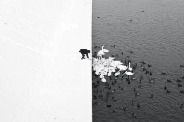 01 A Man Feeding Swans in the Snow