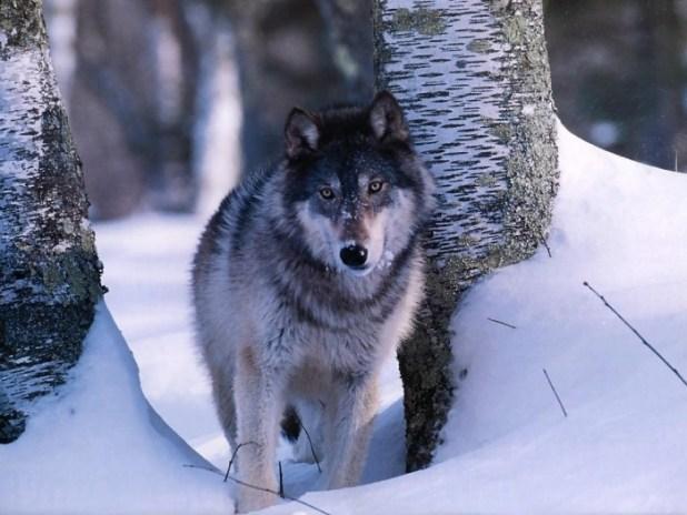 Gray-Wolf-3 Gray Wolf Is A Keystone Predator Of The Ecosystem