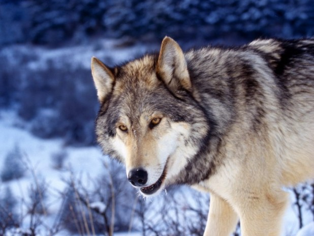 Gray-Wolf-in-Snow Gray Wolf Is A Keystone Predator Of The Ecosystem
