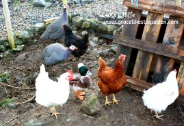 hens and ducks illustrating how to hire a virtual assistant