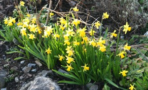 Daffodils  - illustrating informaton about forthcoming Writing Competitions