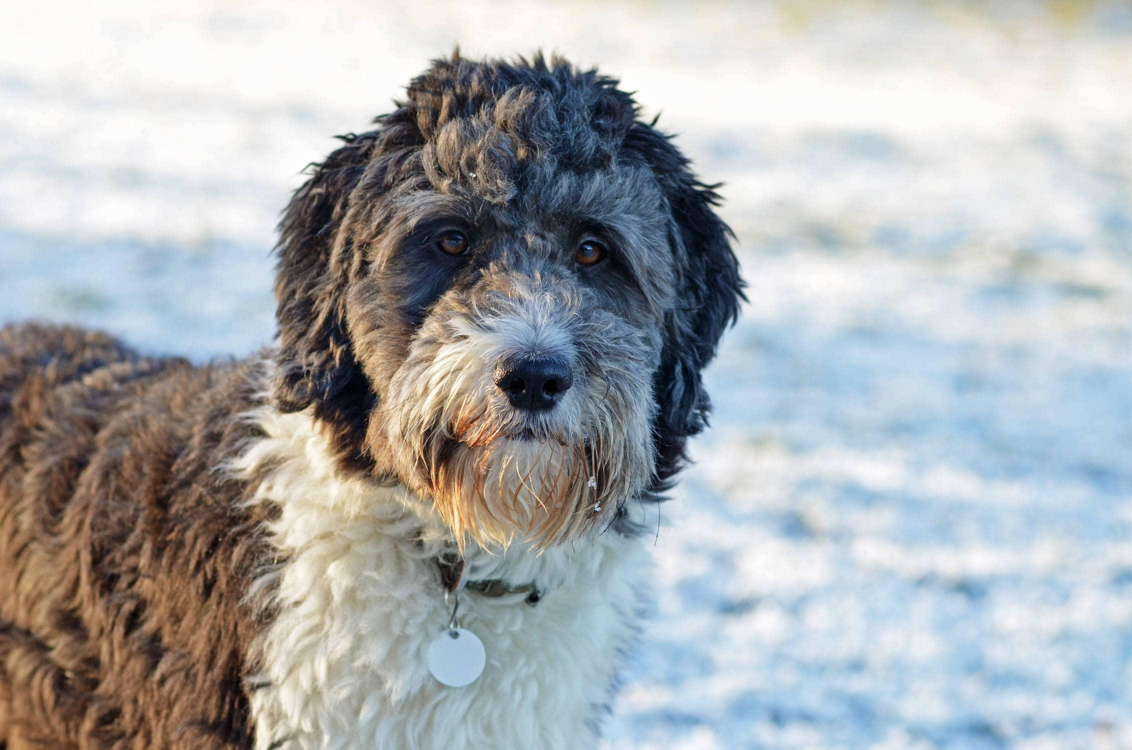 Neat Australian Shepherd Poodle Mix Behaviour Breeds Archives Page Practical Paw Dog Husky Poodle Mix Full Grown Husky Poodle Mix Dogs bark post Husky Poodle Mix