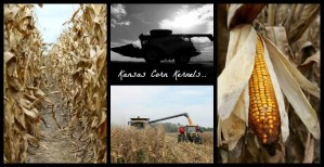 Kansas Corn Kernels..