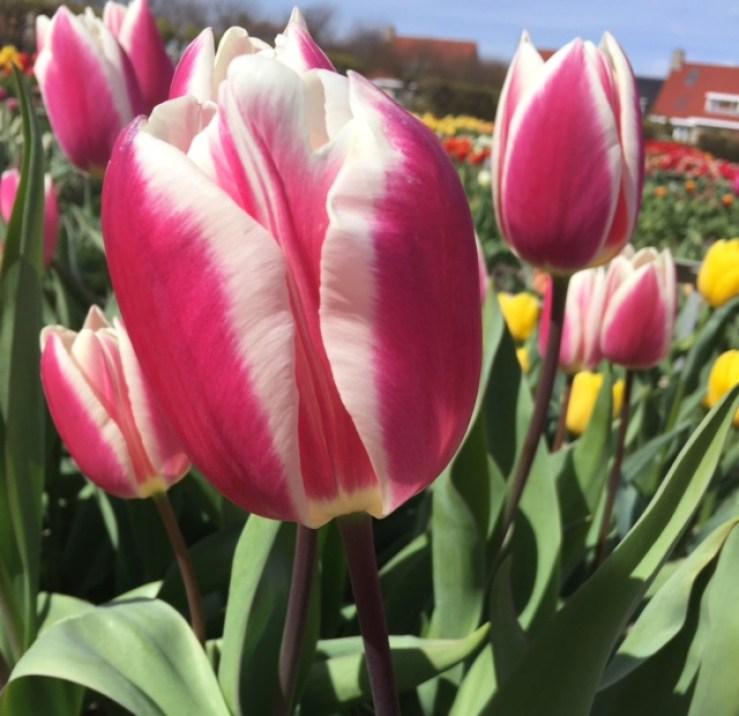 tulipas na holanda