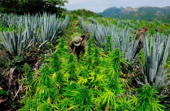 Descubrimiento de un plantío de mariguana.