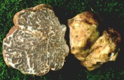 Tuber borchi - photo of Gabriella di Massimo