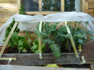 Window box garden: lettuce, kale, broccoli