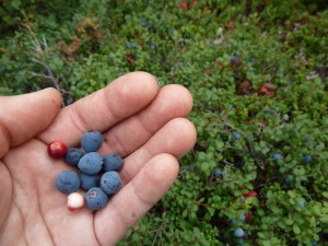Alaska fall harvest: picking blueberries and cranberries