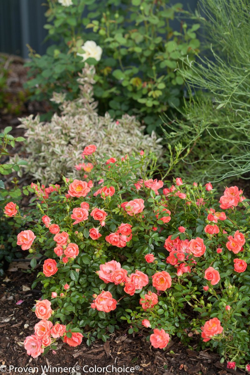 Large Of Ground Cover Roses