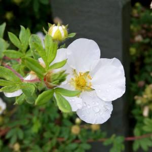 Blomma med regndroppar