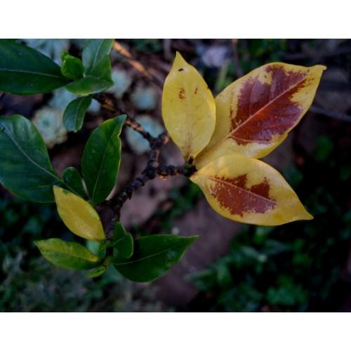 Medium Crop Of Gardenia Yellow Leaves