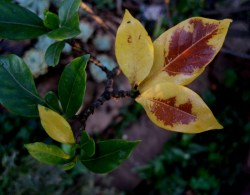 Small Of Gardenia Yellow Leaves