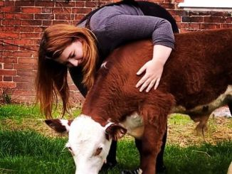 Shannon Bartholemew, returning School President of the School of Humanities and Social Sciences, with a calf.
