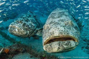 Goliath Grouper up close