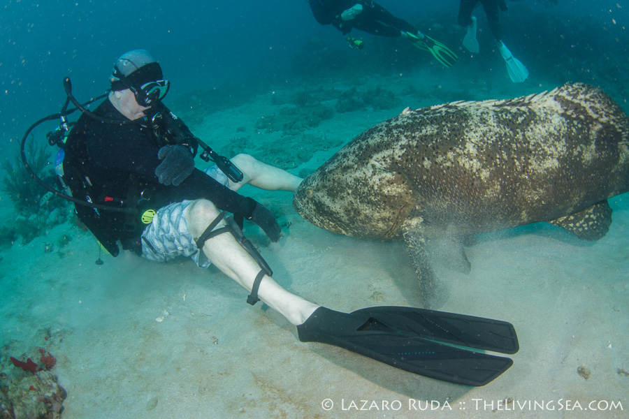 Goliath Grouper Fun in West Palm Beach, Florida Pura Vida Divers ...