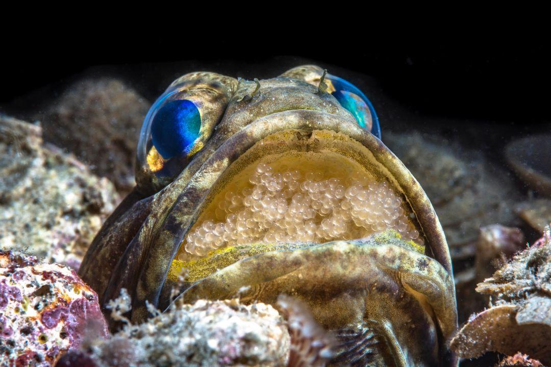 Jawfish With Eggs by Wayne MacWilliams 3