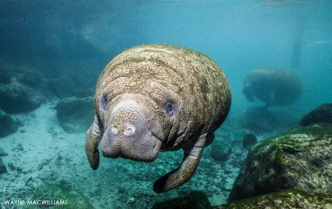 Manatee Snorkel 10