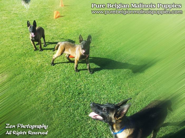 Belgian Malinois Breeders Fresno