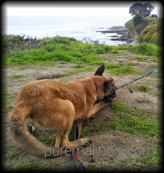 Belgian Malinois Puppies in Santa Cruz California Beach