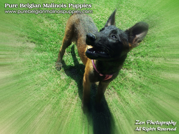 For Sale Malinois Los Angeles