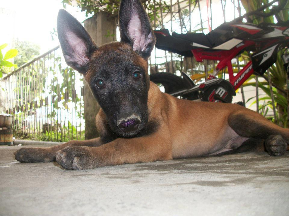 Belgian Malinois Puppies Pictures Review   Dog Breeds Picture