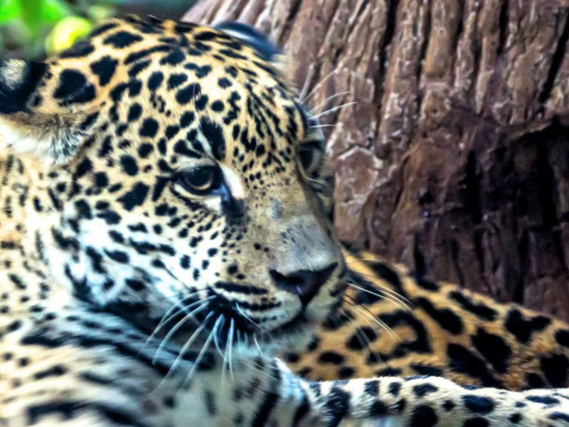 Jaguar Costa Rica Getty Images nytimes.com