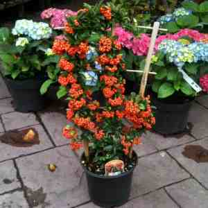 Pyracantha grown in trellis