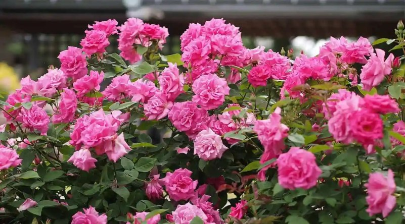Roses you can plant on a north facing wall