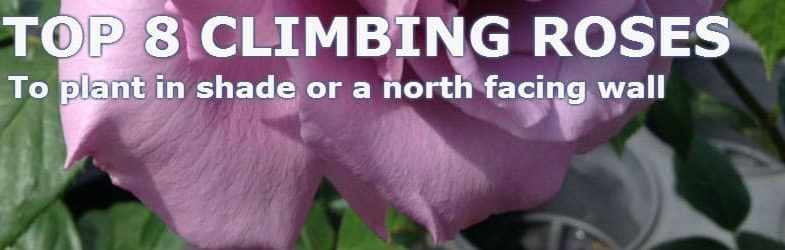 Climbing roses for shade – 8 Rose Varieties that grow well on a North Facing Wall