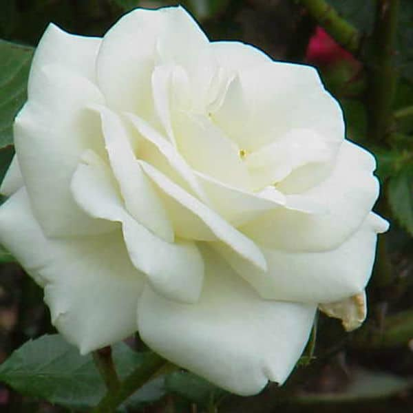 White Ccockade climbing rose, fast growing and produces flowers through out summer.