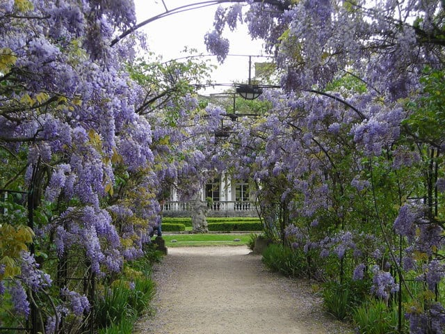 when to prune wisteria climber