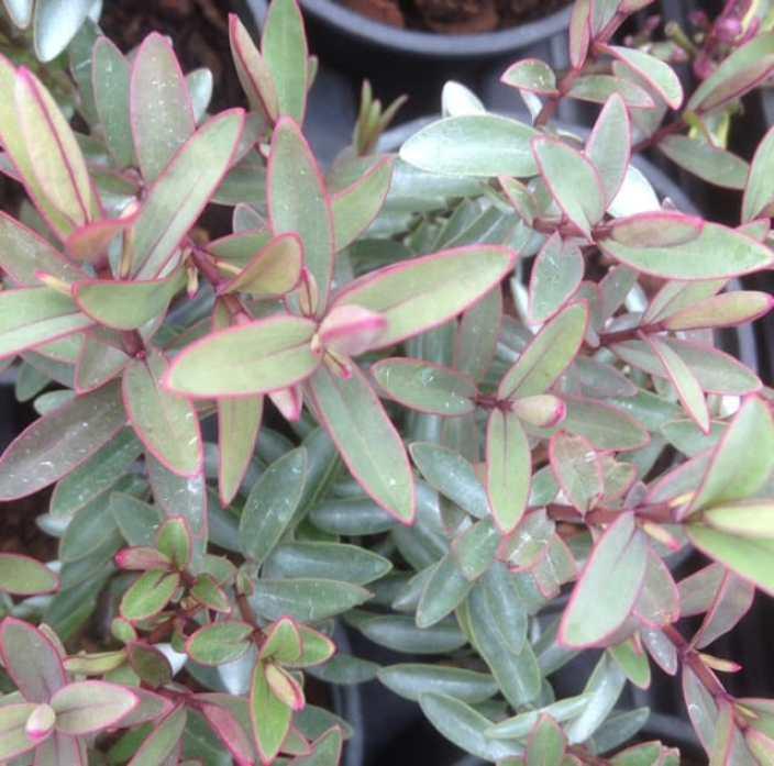 Hebe pink paradise dwarf evergreen shrub