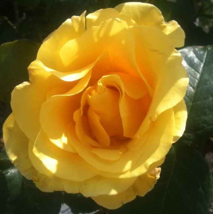 golden wedding rose type