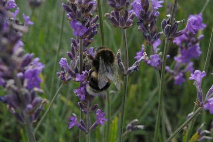 lavender attracts bees
