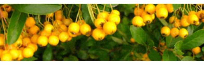 Pyracantha rogersiana growing guide, pruning and planting tips