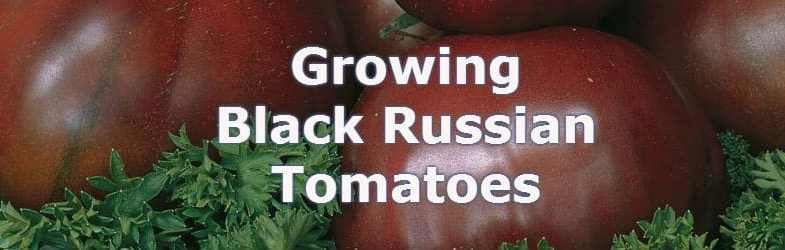 Black Russian Tomato, should you grow this unusual tomato?