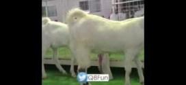 فيديو: مزاد على ماعز في #السعوديه تم بيع ثلاث منها بـ ١٥٠ الف ريال سعودي !