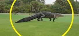 شاهد : تمساح عملاق يتجول داخل نادي غولف !