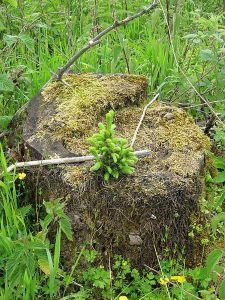 Junge_Fichte_auf_Baumstumpf_-_young_picea_on_stump_-_Saprobiont