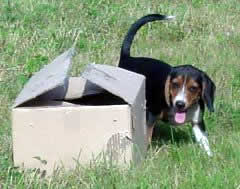 Training a Beagle Pup :: Rabbit Hunting Online Magazine