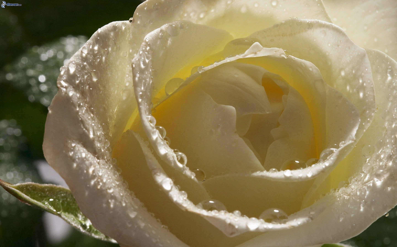 rosa-bianca-gocce-dacqua-2244451