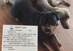 "After picking up my dog nephews last Thursday at their ""Pet Resort"", there was a report card in their bag. Kingston was sorry but Hendrix couldn't care less! #dogsofinstagram #rottweiler #weimaraner #dogaunt [instagram]"