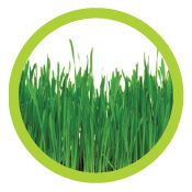 Rain_Core_Wheat_grass