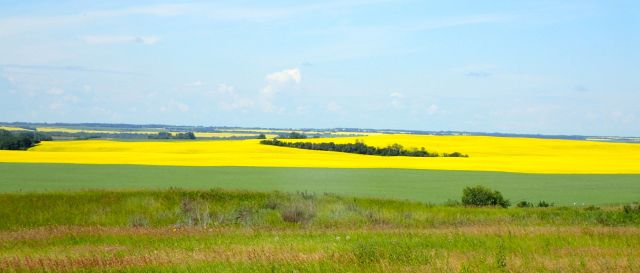 Bright yellow fields of rapeseed plants used to produce canola oil are everywhere in Alberta.