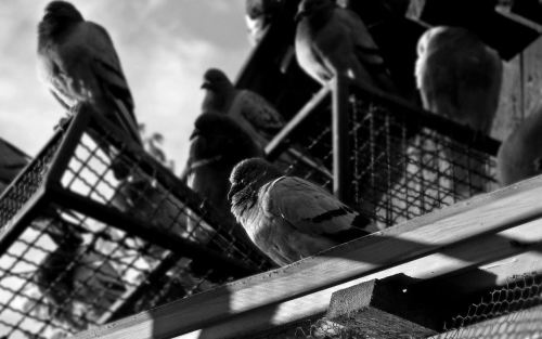 "100 Themes Poem: ""Death and Pigeons at Dawn"""