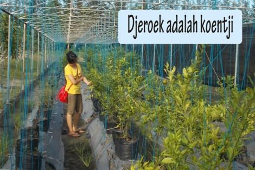 Pohon Jeruk Kunci